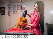 Pet groomer with hair dryer, dog in grooming salon. Стоковое фото, фотограф Tryapitsyn Sergiy / Фотобанк Лори