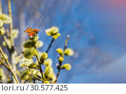 The willow branches with flowering yellow fluffy buds with beautiful butterfly peacock moth Saturnia pyri in early spring in a park on the photo. Стоковое фото, фотограф Татьяна Куклина / Фотобанк Лори