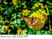 Купить «Бабочка крапивница (лат. Aglais urticae, Nymphalis urticae) сидит на жёлтом цветке бархатца  ранней осенью. Россия.», фото № 30579797, снято 13 сентября 2018 г. (c) Владимир Устенко / Фотобанк Лори
