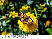 Купить «Крапивница-бабочка (лат. Aglais urticae, Nymphalis urticae) сидит на жёлтом цветке бархатца  ранней осенью солнечным днём. Россия», фото № 30579857, снято 13 сентября 2018 г. (c) Устенко Владимир Александрович / Фотобанк Лори
