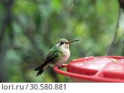 Купить «The female hummingbird sits on a red trough», фото № 30580881, снято 12 марта 2019 г. (c) Ирина Кожемякина / Фотобанк Лори
