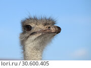 Купить «Ostrich head against a blue sky», фото № 30600405, снято 4 марта 2010 г. (c) Яна Королёва / Фотобанк Лори
