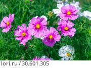 Купить «Розовые цветы космеи (cosmos)», фото № 30601305, снято 17 сентября 2018 г. (c) Татьяна Белова / Фотобанк Лори