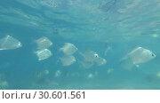 Купить «School of Silver moonfish - Monodactylus argenteus swim under surface in the blue water, Indian Ocean, Hikkaduwa, Sri Lanka, South Asia», видеоролик № 30601561, снято 26 марта 2019 г. (c) Некрасов Андрей / Фотобанк Лори