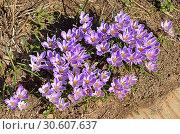 Beautiful first spring flowers. Crocus vernus. Стоковое фото, фотограф Валерия Попова / Фотобанк Лори