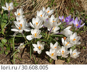 First spring flowers. Purple and white Crocus vernus. Стоковое фото, фотограф Валерия Попова / Фотобанк Лори