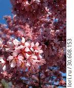 Купить «Цветение вишни», фото № 30608153, снято 13 апреля 2019 г. (c) Ed_Z / Фотобанк Лори