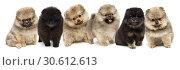 Купить «Six Pomeranian puppies», фото № 30612613, снято 19 июля 2019 г. (c) Okssi / Фотобанк Лори