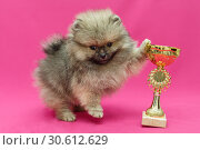 Купить «Pomeranian puppy on a pink background», фото № 30612629, снято 10 апреля 2019 г. (c) Okssi / Фотобанк Лори