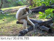 Купить «Белощёкий хохлатый гиббон (лат. Nomascus leucogenys). Самка обезьяны сидит на дереве и ест банан», фото № 30616785, снято 21 марта 2019 г. (c) Григорий Писоцкий / Фотобанк Лори