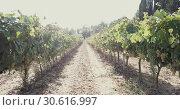 Купить «Closeup of bunches of ripe white grapes on vine in vineyard. Selective focus», видеоролик № 30616997, снято 27 сентября 2018 г. (c) Яков Филимонов / Фотобанк Лори