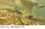 Купить «School of two species of fish swims in the like- Slender rasbora (Rasbora daniconius) and Side-striped barb (Systomus pleurotaenia) endemic to Sri Lanka, Sinharaja Forest Reserve», видеоролик № 30620713, снято 26 марта 2019 г. (c) Некрасов Андрей / Фотобанк Лори