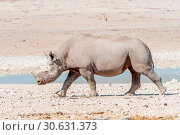 Купить «Black rhinoceros with horns trimmed, walking», фото № 30631373, снято 25 июня 2017 г. (c) easy Fotostock / Фотобанк Лори