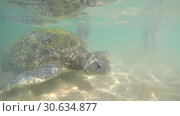 Купить «Macro view of Big olive turtle in the water on the coast of the Turtle Beach in Hikkaduwa, Sri Lanka in the Indian Ocean», видеоролик № 30634877, снято 23 апреля 2019 г. (c) katalinks / Фотобанк Лори
