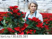 Купить «Female arranging poinsettia plants in glasshouse», фото № 30635381, снято 22 ноября 2018 г. (c) Яков Филимонов / Фотобанк Лори