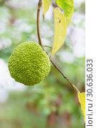 Маклюра оранжевая или яблоконосная, или красильная шелковица, или лжеапельсин (лат. Maclura pomifera) — вид плодовых деревьев семейства тутовых (лат. Moraceae). Зеленый плод на ветке. Стоковое фото, фотограф Наталья Гармашева / Фотобанк Лори