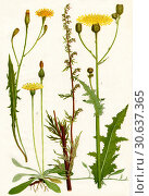 Wildflowers. 1. Cat's ear 2. Mouse ear Hawkweed 3. Mugwort 4. Corn Sowthistle. Редакционное фото, фотограф Hilary Jane Morgan / age Fotostock / Фотобанк Лори