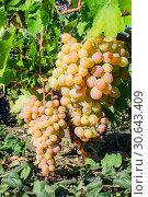 Купить «Белый виноград возле земли, освещенный ярким солнцем», фото № 30643409, снято 18 сентября 2014 г. (c) Устенко Владимир Александрович / Фотобанк Лори