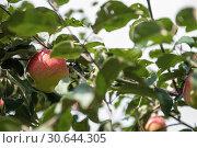 Купить «Apple tree with apples», фото № 30644305, снято 16 сентября 2018 г. (c) Jan Jack Russo Media / Фотобанк Лори
