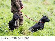 Купить «Woman with working gundogs; labrador and cocker spaniel», фото № 30653761, снято 5 июня 2020 г. (c) Ingram Publishing / Фотобанк Лори