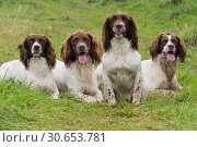 Купить «A portrait of four working springer spaniels on a shoot day», фото № 30653781, снято 5 августа 2020 г. (c) Ingram Publishing / Фотобанк Лори