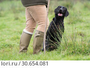 Купить «A working black labrador at heel», фото № 30654081, снято 16 июля 2017 г. (c) Ingram Publishing / Фотобанк Лори