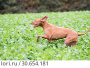 Купить «Wire-haired Hungarian Vizsla running in a field of kale», фото № 30654181, снято 16 июля 2017 г. (c) Ingram Publishing / Фотобанк Лори