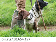 Springer spaniel gundog puppy, in liver and white with an adult black and white dog in the background with their master. Стоковое фото, агентство Ingram Publishing / Фотобанк Лори