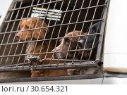 Купить «Gundogs waiting in the pick-up to start the next drive», фото № 30654321, снято 16 июля 2017 г. (c) Ingram Publishing / Фотобанк Лори