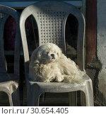 Купить «White puppy sitting on a chair, Darjeeling, West Bengal, India», фото № 30654405, снято 23 августа 2019 г. (c) Ingram Publishing / Фотобанк Лори