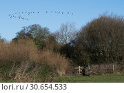 Game shooting hiding in cover watching Canada Geese fly over. Стоковое фото, агентство Ingram Publishing / Фотобанк Лори