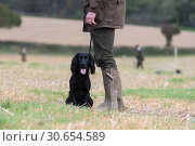 Купить «Working cocker spaniel out on a shoot day, in the line of guns», фото № 30654589, снято 23 июля 2019 г. (c) Ingram Publishing / Фотобанк Лори