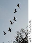 Canada Geese flying in formation. Стоковое фото, агентство Ingram Publishing / Фотобанк Лори