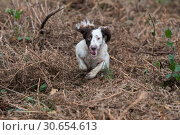 Portrait of a working liver and white springer spaniel on a game shoot. Стоковое фото, агентство Ingram Publishing / Фотобанк Лори