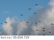 Купить «A flock of mallard in flight», фото № 30654729, снято 18 июня 2019 г. (c) Ingram Publishing / Фотобанк Лори