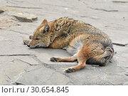 Купить «Sweet Dreams. Golden jackal (Canis aureus) sleeping», фото № 30654845, снято 20 апреля 2019 г. (c) Валерия Попова / Фотобанк Лори