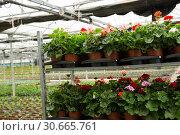 Купить «Geranium flowers carefully growing in flowerpots in glasshouse farm», фото № 30665761, снято 9 апреля 2019 г. (c) Яков Филимонов / Фотобанк Лори