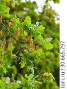 Купить «Oak branches with green leaves», фото № 30665797, снято 8 декабря 2019 г. (c) Яков Филимонов / Фотобанк Лори
