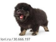 Купить «Yawning black Pomeranian puppy», фото № 30666197, снято 10 апреля 2019 г. (c) Okssi / Фотобанк Лори