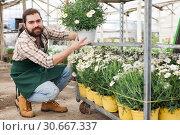 Купить «Worker examining African daisies», фото № 30667337, снято 9 апреля 2019 г. (c) Яков Филимонов / Фотобанк Лори