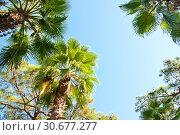 Купить «Palms on blue sky background», фото № 30677277, снято 23 сентября 2018 г. (c) Наталья Двухимённая / Фотобанк Лори