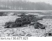 Купить «BELGIUM Bastogne -- 25 Dec 1944 -- German soldiers who attempted to storm the 101st US Airborne command post in Bastogne, Belgium, lie dead on the ground...», фото № 30677821, снято 23 мая 2012 г. (c) age Fotostock / Фотобанк Лори