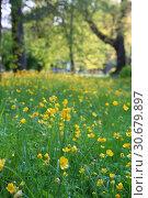Купить «Spring Buttercup, or Chistyak (Ranunculus ficaria)», фото № 30679897, снято 26 апреля 2019 г. (c) Марина Володько / Фотобанк Лори