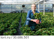 Купить «Young female gardener in gloves working with seedlings of euphorbia pulcherrima in pots», фото № 30686501, снято 3 октября 2018 г. (c) Яков Филимонов / Фотобанк Лори