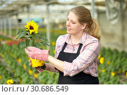 Купить «Female farmer cultivating potted ornamental Helianthus», фото № 30686549, снято 9 апреля 2019 г. (c) Яков Филимонов / Фотобанк Лори