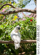 Купить «White yellow-crested cockatoo sitting in the garden on a tree branch», фото № 30686853, снято 28 сентября 2010 г. (c) Юлия Бабкина / Фотобанк Лори
