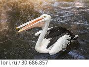 Купить «Australian pelican (Pelecanus conspicillatus)», фото № 30686857, снято 28 сентября 2010 г. (c) Юлия Бабкина / Фотобанк Лори