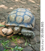 Купить «Giant tortoise in a zoo on a stone-paved area», фото № 30686865, снято 28 сентября 2010 г. (c) Юлия Бабкина / Фотобанк Лори