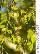 Купить «Ветка берёзы повислой карельской (Betula pendula var. carelica) с сережками», фото № 30687069, снято 1 мая 2019 г. (c) Алёшина Оксана / Фотобанк Лори