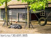 Купить «Pig sleeping at a farm in the Netherlands, Europe.», фото № 30691905, снято 23 апреля 2019 г. (c) age Fotostock / Фотобанк Лори